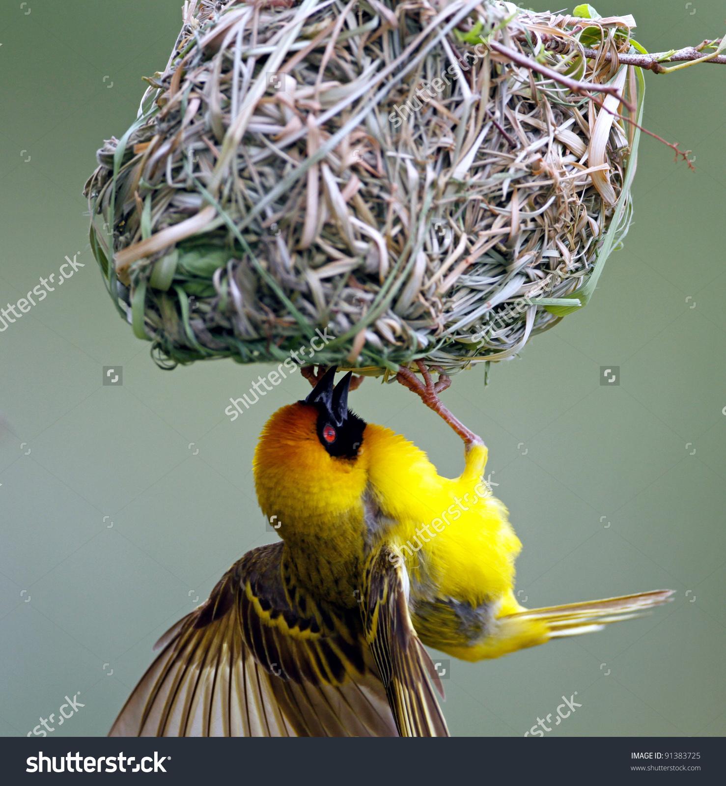 Masked Weaver; Ploceus Velatus; Female Inside The Nest; South.