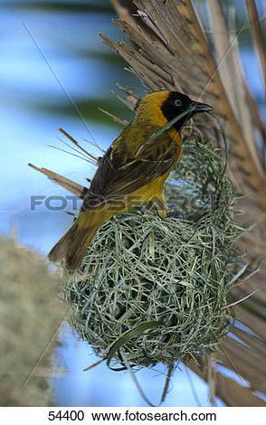Stock Photography of Lesser Masked Weaver (Ploceus intermedius.