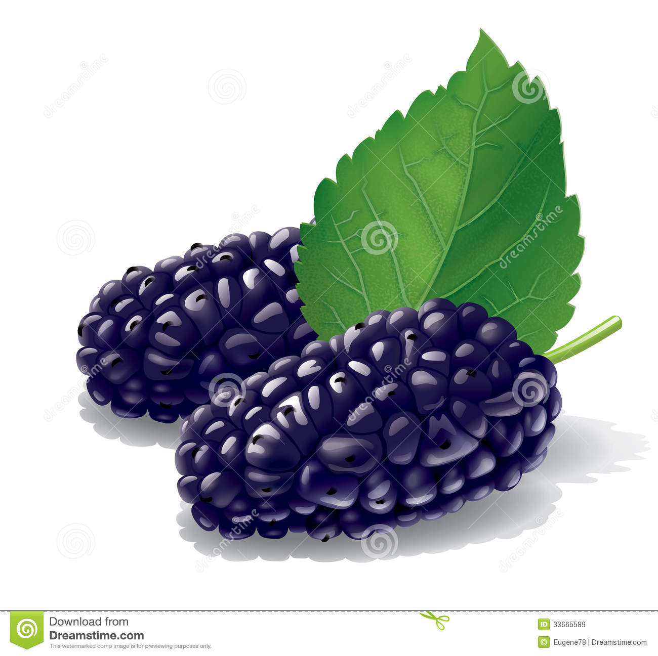 Black Mulberry Stock Illustrations.