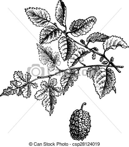 Vector Clip Art of Mulberry, vintage engraving..