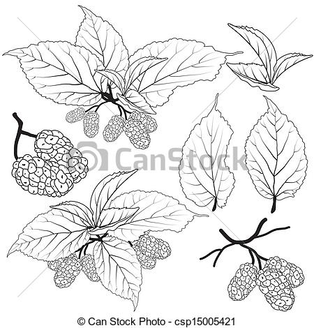 Vector Illustration of Fruit and leaves mulberry line vector.