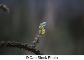 Picture of Black mullein or Dark mullein inflorescence.