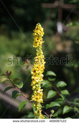 Verbascum Stock Photos, Royalty.