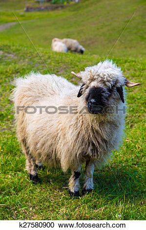 Stock Photography of Valais blacknose sheep in Alps k27580900.