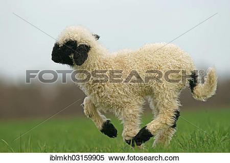 """Stock Image of """"Valais Blacknose sheep (Ovis orientalis aries."""