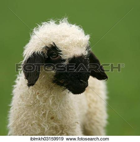 "Stock Photograph of ""Valais Blacknose sheep (Ovis orientalis aries."