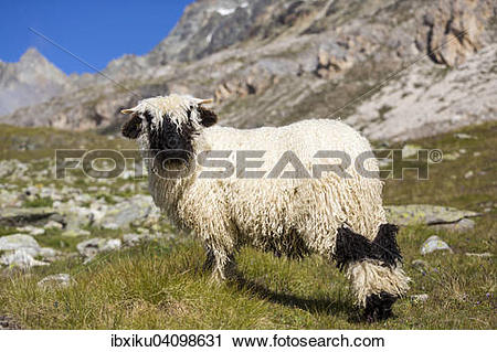Stock Photography of Valais Blacknose Sheep, at Hohbalmen, Zermatt.