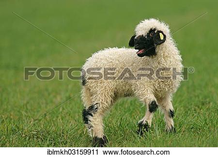 "Stock Photography of ""Valais Blacknose sheep (Ovis orientalis."