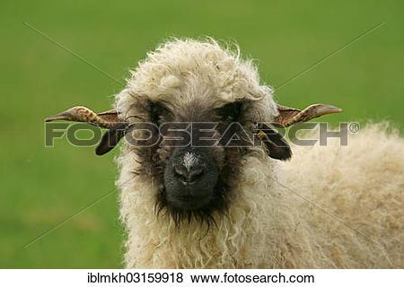 "Pictures of ""Valais Blacknose sheep (Ovis orientalis aries), ewe."