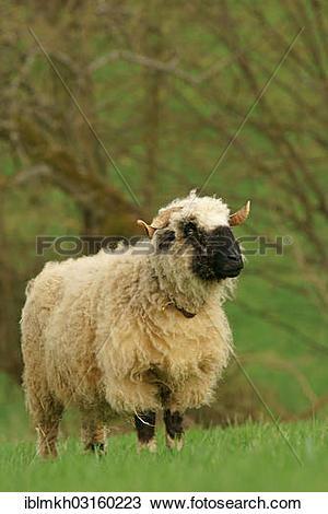 """Stock Photo of """"Valais Blacknose sheep (Ovis orientalis aries."""