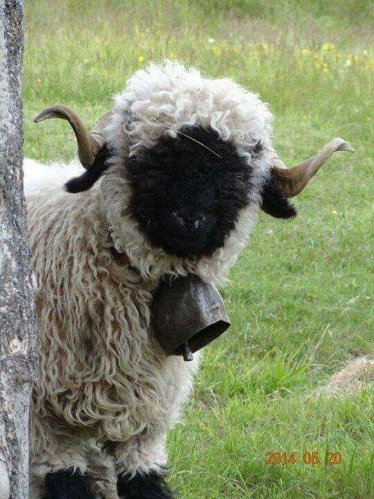 1000+ ideas about Cute Lamb on Pinterest.