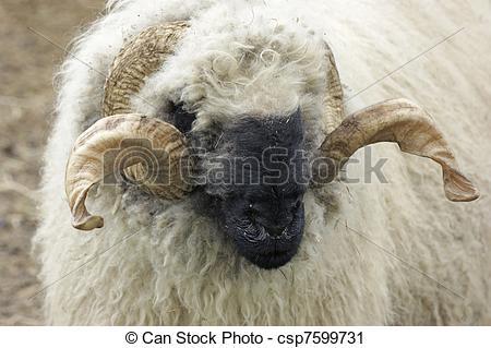 Stock Photography of Valais Blacknose sheep.