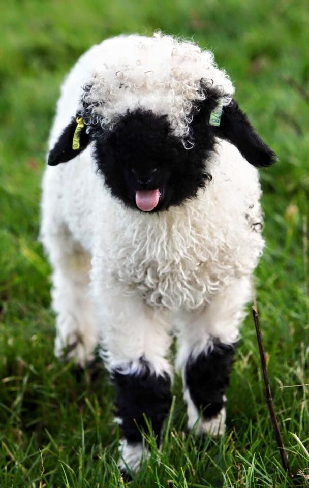 1000+ ideas about Baby Sheep on Pinterest.