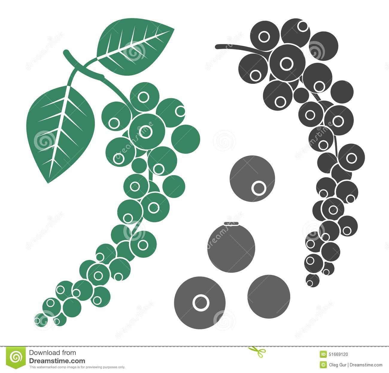 Black Pepper Plant Stock Illustrations.