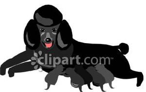 Black Poodle Nursing Puppies.