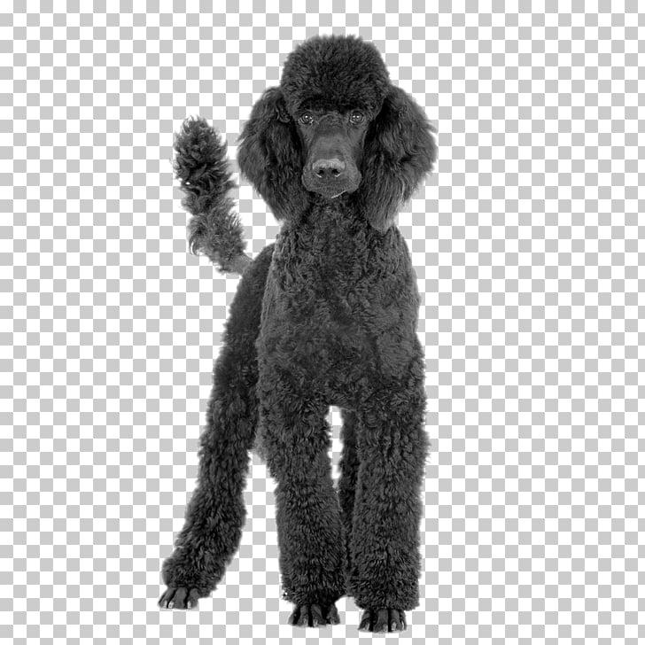 Black Poodle, black poodle PNG clipart.
