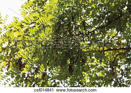 Stock Photography of Germany, View of black poplar tree, close up.