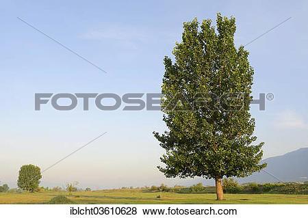 "Pictures of ""Black Poplar (Populus nigra), Central Macedonia."