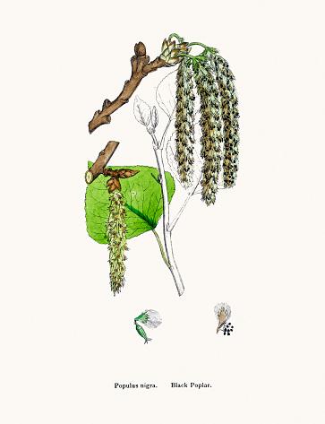 Populus Nigra Clip Art, Vector Images & Illustrations.