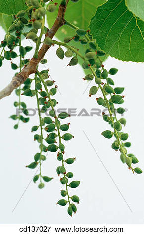 Picture of Black Poplar (Populus nigra) cd137027.