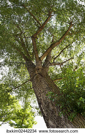 Stock Photo of Black Poplar (Populus nigra) ibxkim02442234.