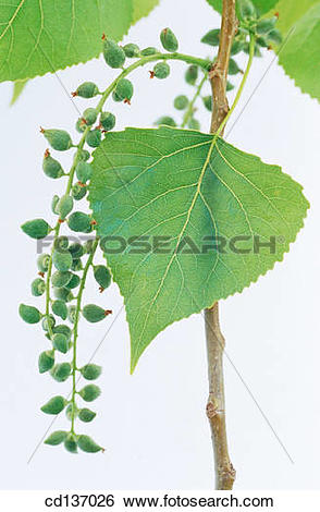 Stock Images of Black Poplar (Populus nigra) cd137026.