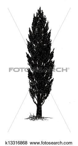 Stock Illustration of Poplar Tree.