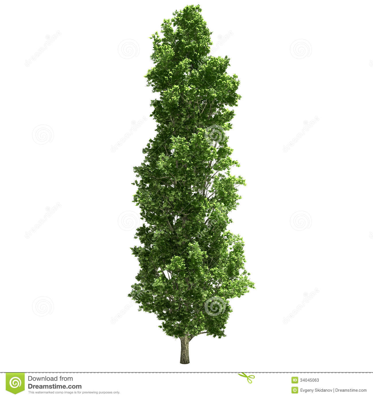 poplar tree single.