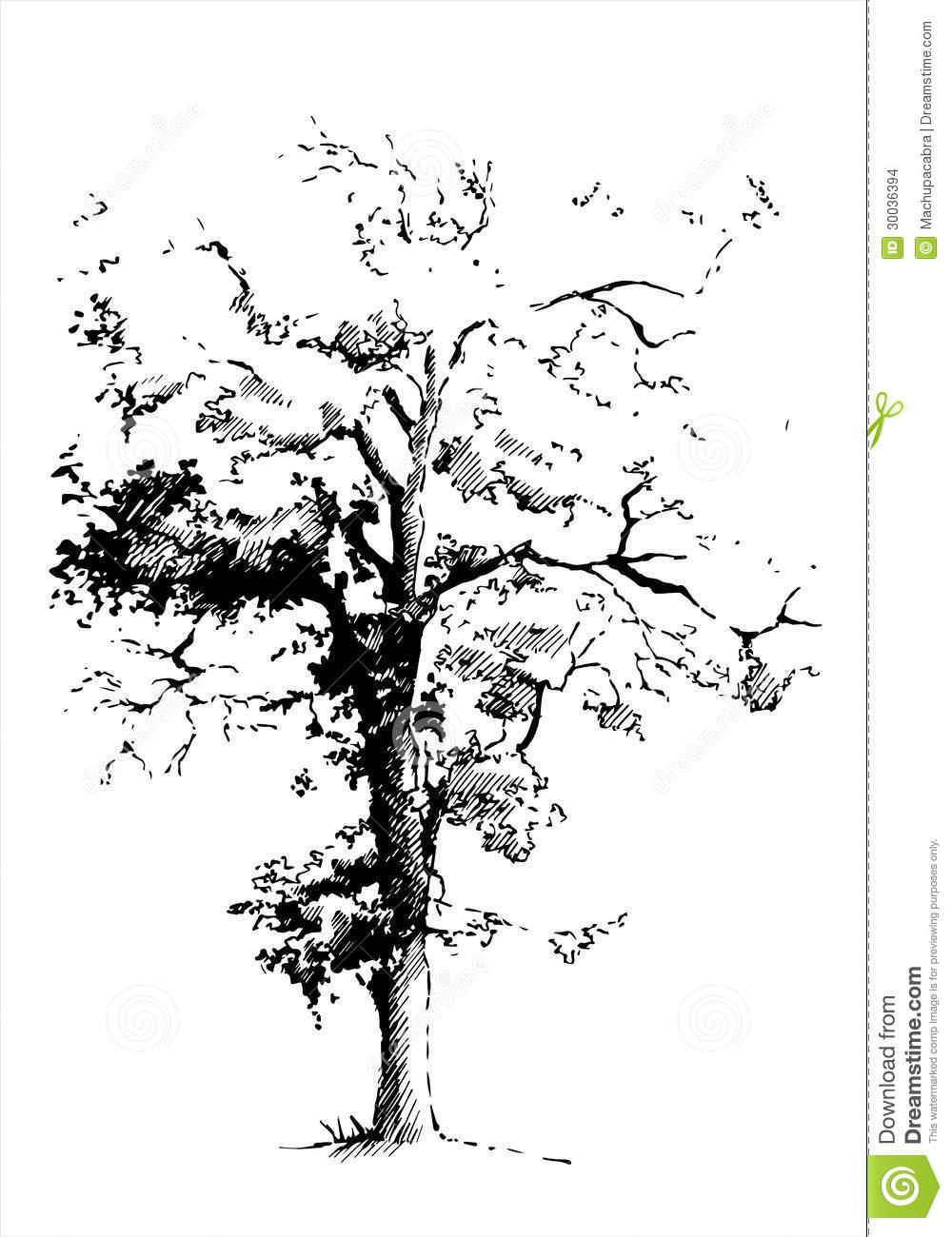 Black Poplar Tree Stock Images.