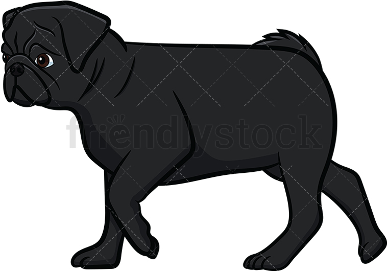 Black Pug Walking.
