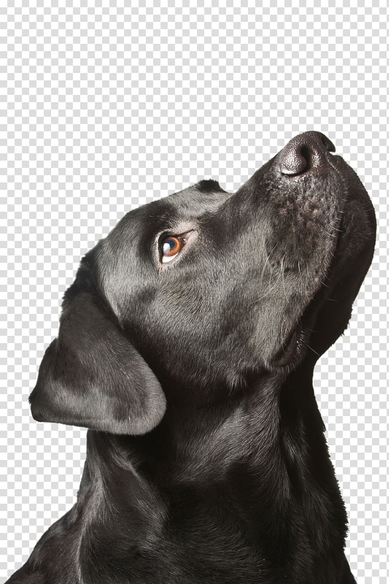 Labrador Retriever Puppy Black dog syndrome, puppy.
