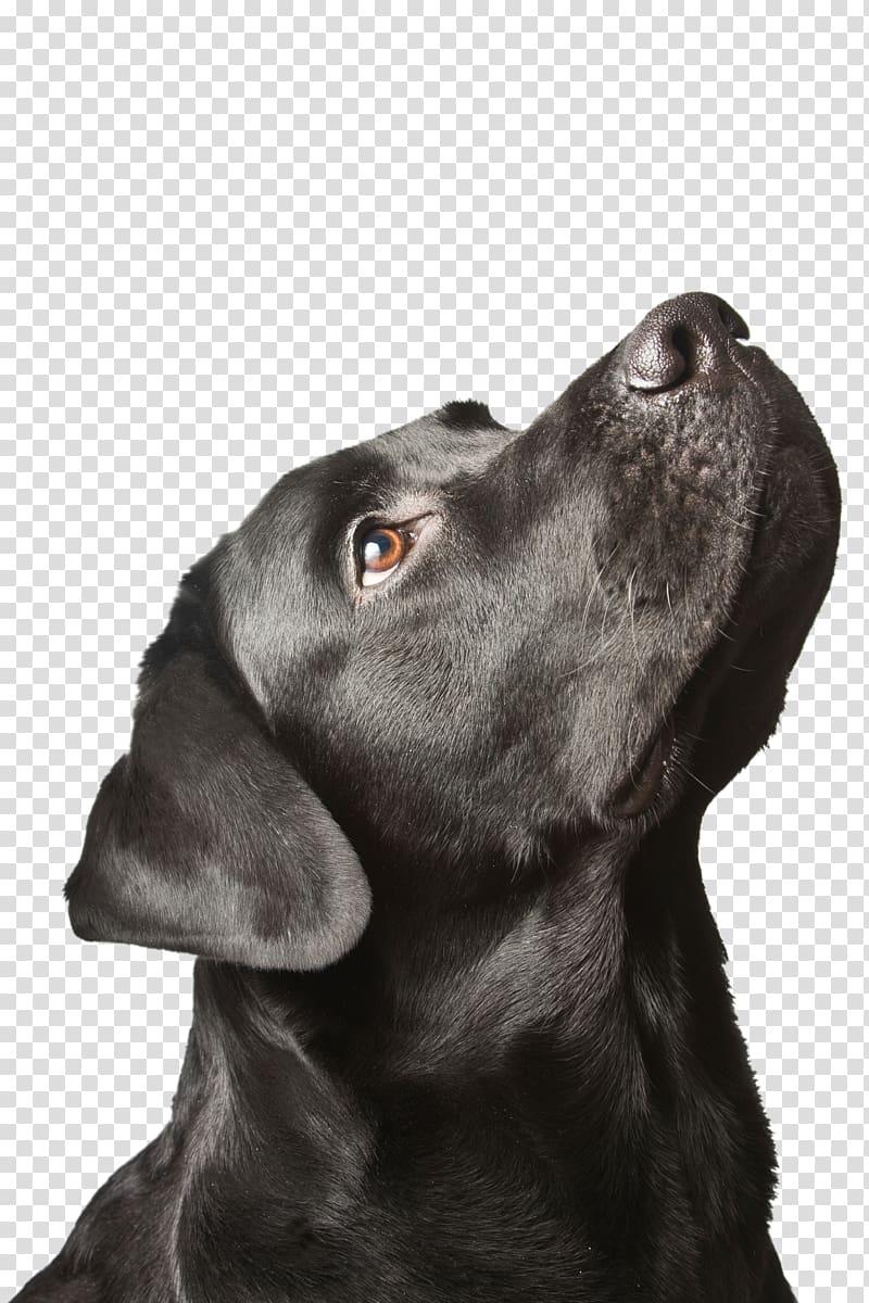 Labrador Retriever Puppy Black dog syndrome, puppy.
