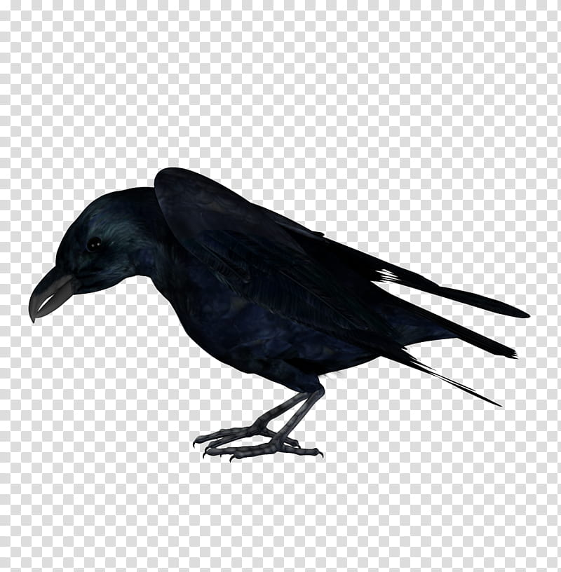 Raven, black crow transparent background PNG clipart.