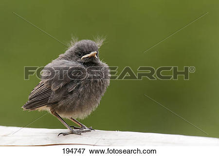 Picture of Black Redstart (Phoenicurus ochruros), young standing.