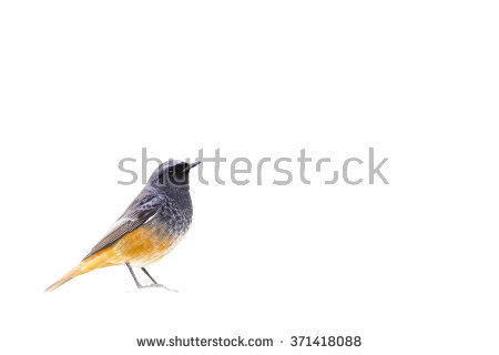 Black Redstart Stock Photos, Royalty.
