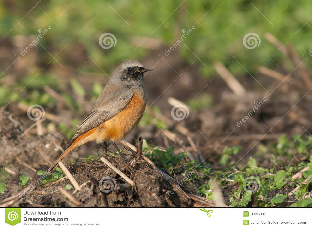 Eastern Black Redstart Royalty Free Stock Images.
