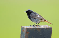 Young Black Redstart Bird (Phoenicurus Ochruros) Stock Photo.
