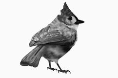 Black Redstart Stock Illustrations.