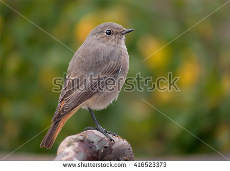 Redstart Stock Images, Royalty.
