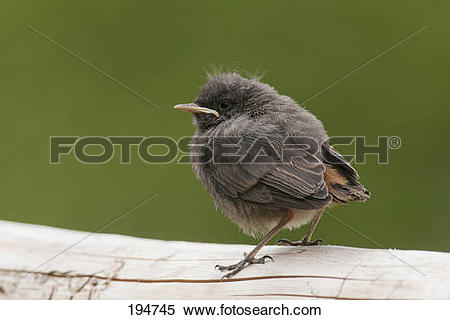 Stock Image of Black Redstart (Phoenicurus ochruros), young.