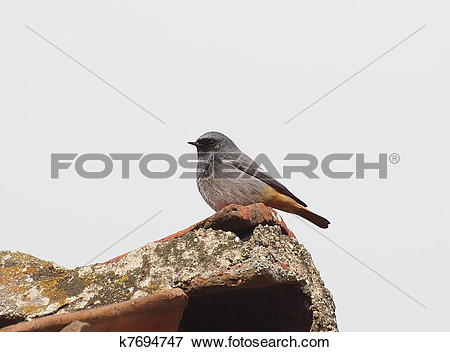 Picture of Black Redstart k7694747.