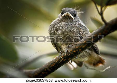 "Pictures of ""Juvenile Black Redstart (Phoenicurus ochruros."