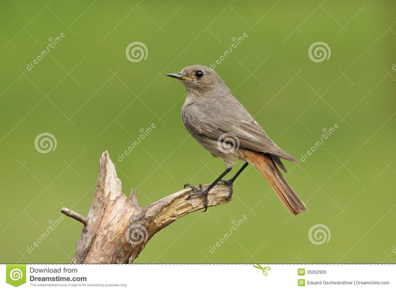 Black Redstart Royalty Free Stock Photo.