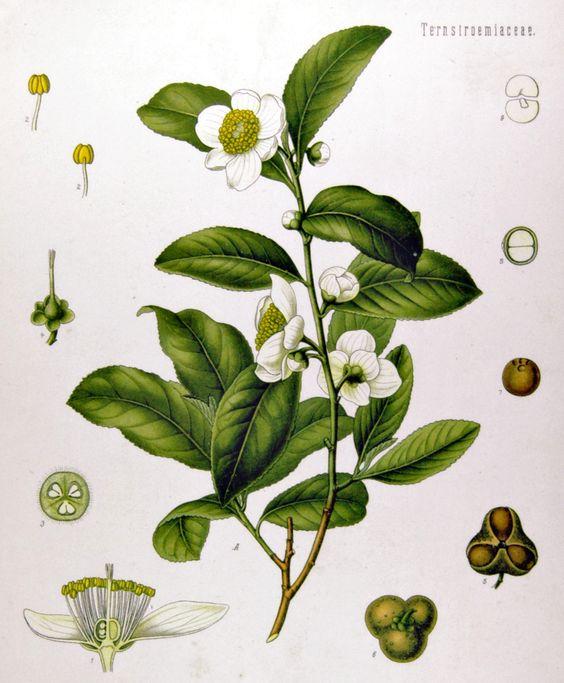 tea leaf botanical illustration.