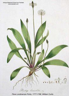 Chenopodium album L..