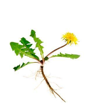 1000+ ideas about Dandelion Plant on Pinterest.