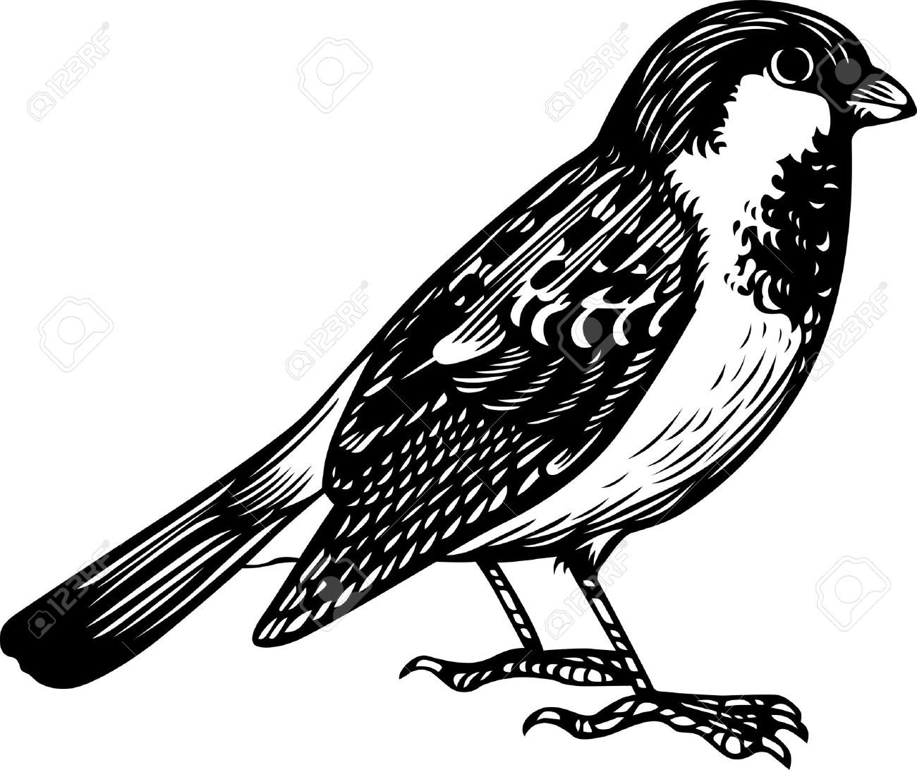Sparrow Standing Royalty Free Cliparts, Vectors, And Stock.