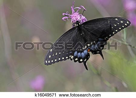 Stock Photography of Eastern Black Swallowtail k16049571.