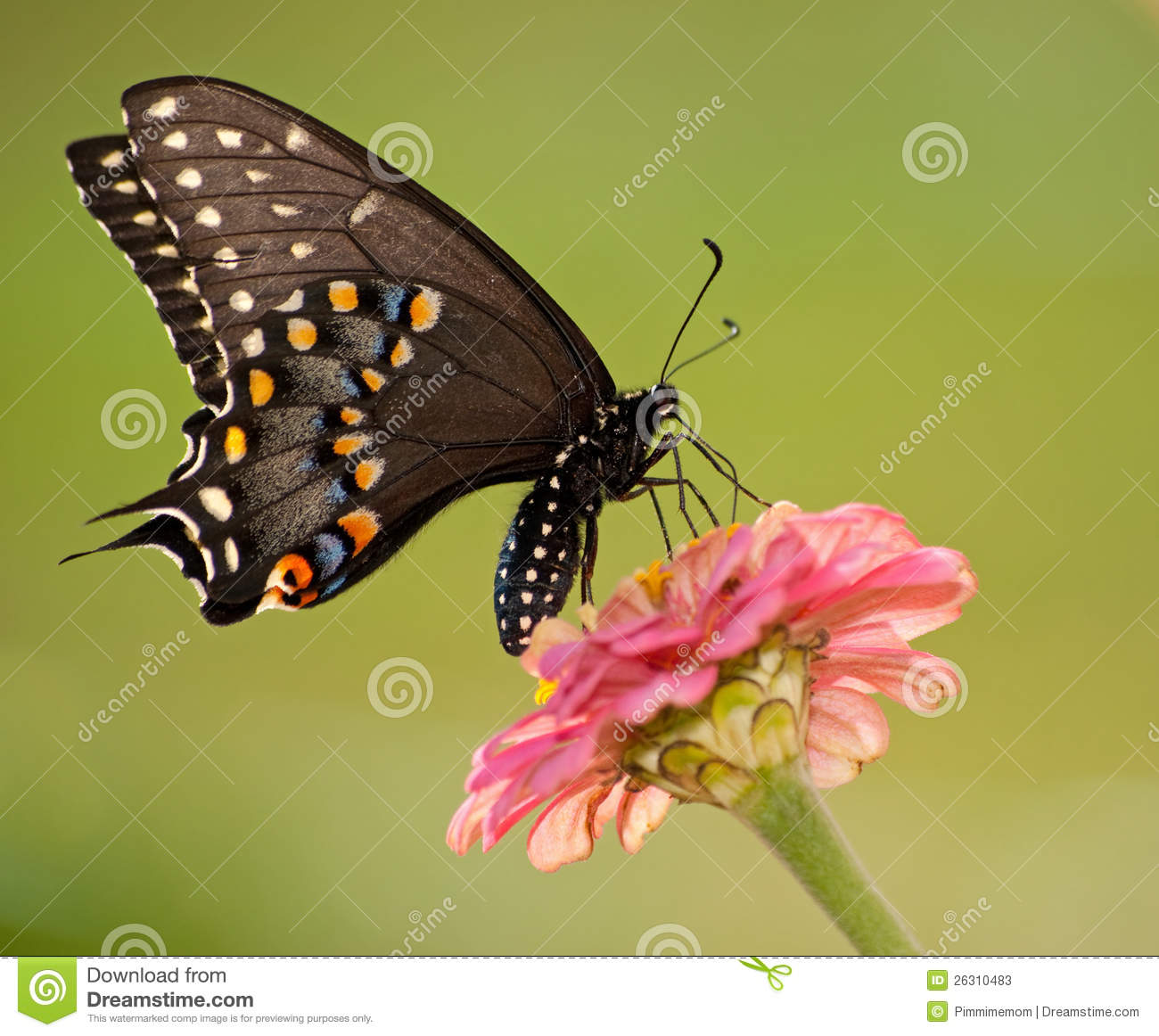 Black Swallowtail Butterfly Feeding On Flower Stock Photos.