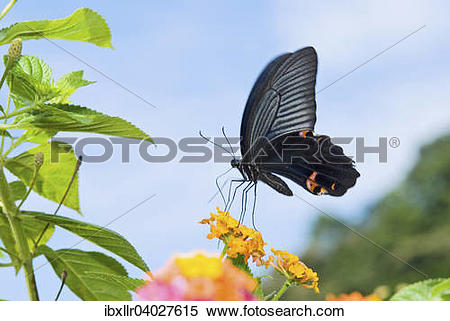 Stock Image of Black Swallowtail butterfly (Papilio polyxenes.